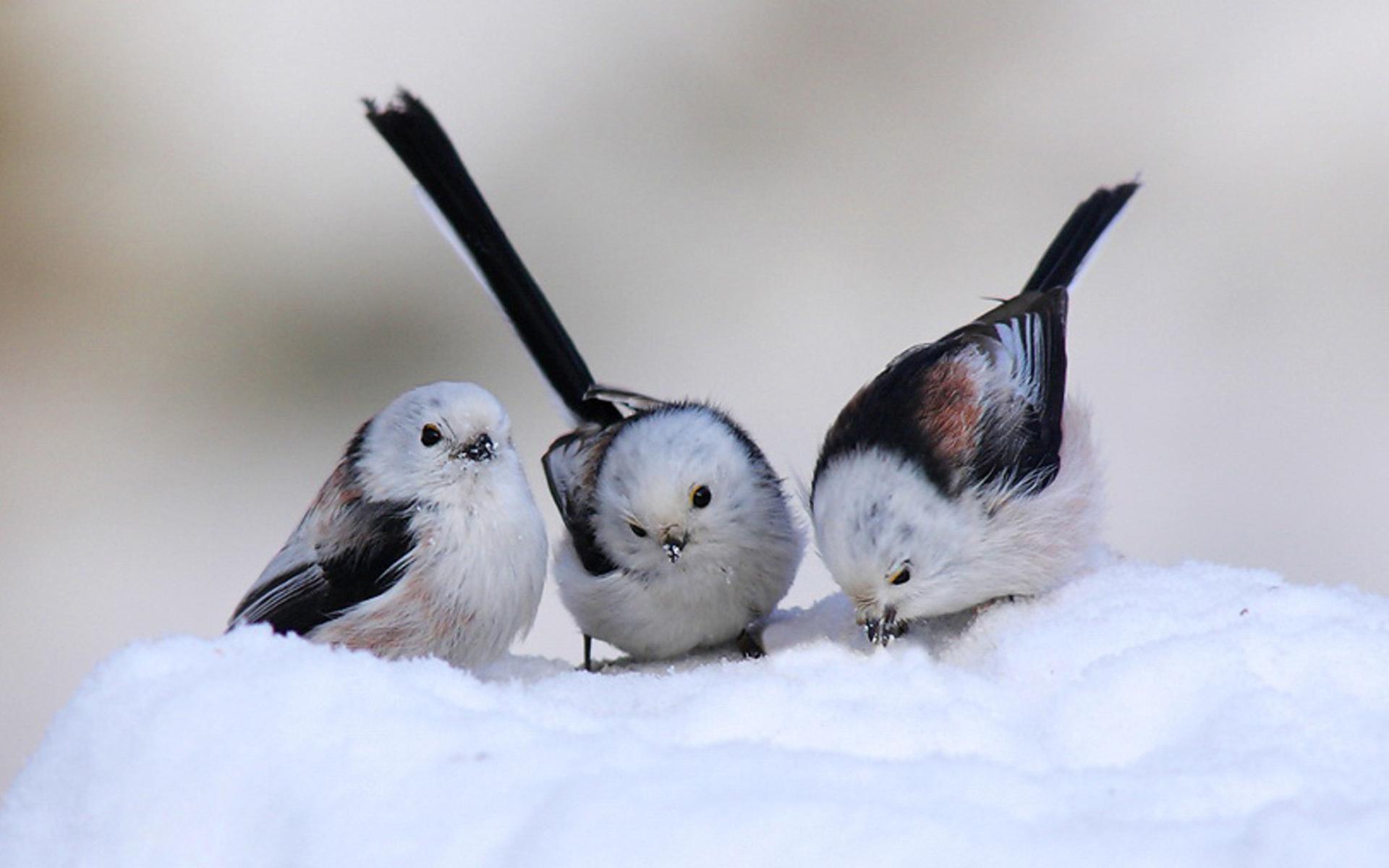 Three Birds in Snow